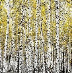 Autumn Birches Shower Curtain Tall Forest Trees Nature Print